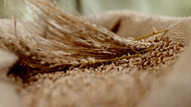 SLO MO Wheat ears falling into sack of wheat crop Super slow motion close-up shot of wheat ears falling into sack full of wheat crop. flour stock videos & royalty-free footage