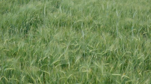 vidéos et rushes de épis de blé croissant sur le champ - foin