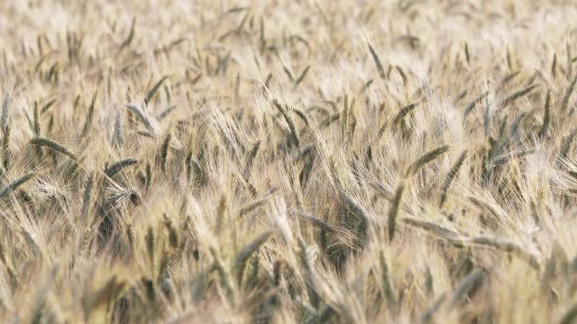 Wheat ears on a wind at sunset, yellow warm light, ripe cones, Easy rocking of a rye, horizon, sunny weather