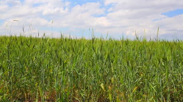 wheat farm video