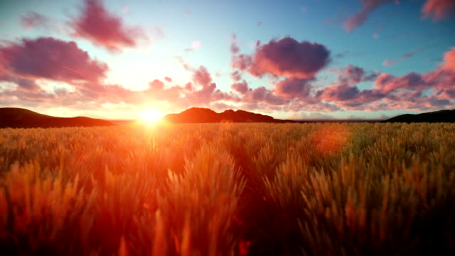 Wheat field against beautiful timelapse sunset, camera fly