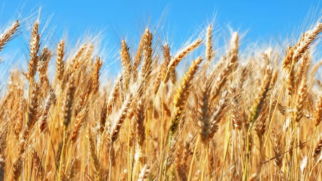 Wheat field and blue sky Creative abstract agriculture, farming and harvesting concept: macro view of fresh ripe wheat ear plants at the summer wheatfield and blue sky with selective focus effect wheat stock videos & royalty-free footage