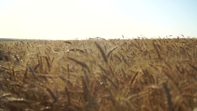 Wheat Field and flying video