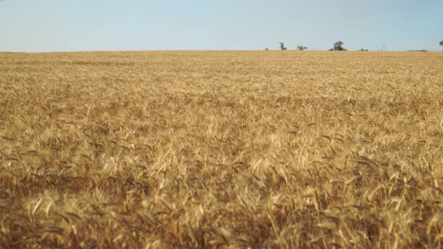 Wheat Field and sky video
