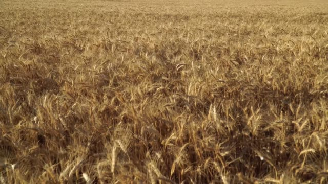 Wheat Field and sky wery close video