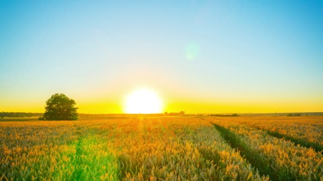 Wheat field and sunset, time-lapse