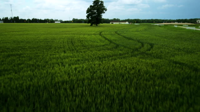 Wheat Field and Tree video