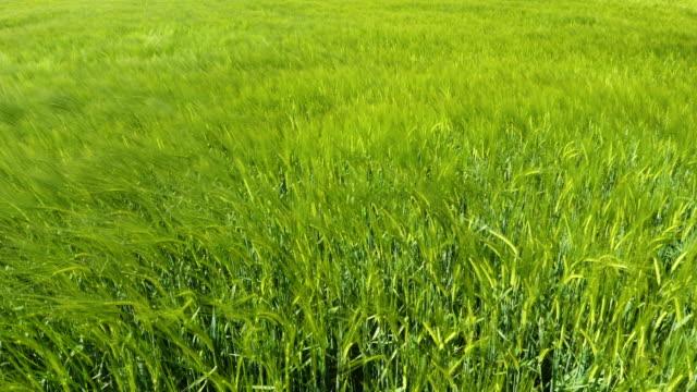 wheat field and wind in spring - gospodarstwo ekologiczne filmów i materiałów b-roll
