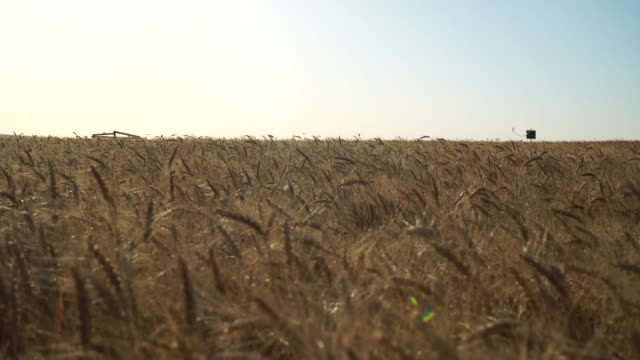 Wheat Field at evning video