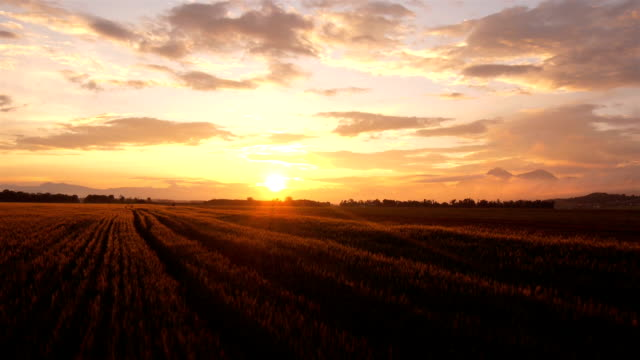 aerial: wheat field at summer surise - sunset stock videos & royalty-free footage