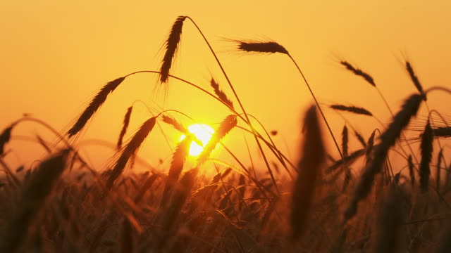 HD TIME LAPSE: Wheat Field At Sunrise video