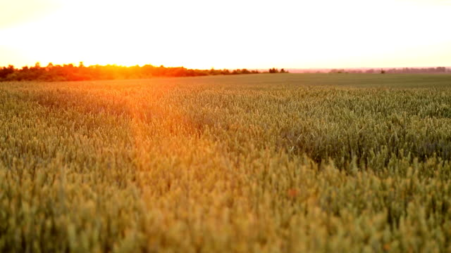 Wheat field at sunset on a warm spring wecar. The sun's rays pass through the ears of wheat.