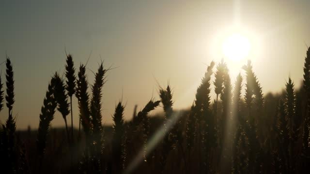 buğday alan gün batımında - çavdar stok videoları ve detay görüntü çekimi