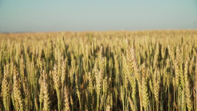 gün batımında buğday alanı - çavdar stok videoları ve detay görüntü çekimi