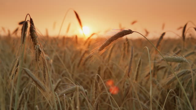 HD DOLLY: Wheat Field At Sunset video