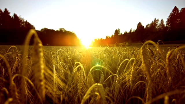 Wheat Field At Sunset (Super Slow Motion) HD1080p: Super Slow Motion shot of moving through a field of wheat in the direction of the sun. Camera Stabilization Shot wheat stock videos & royalty-free footage