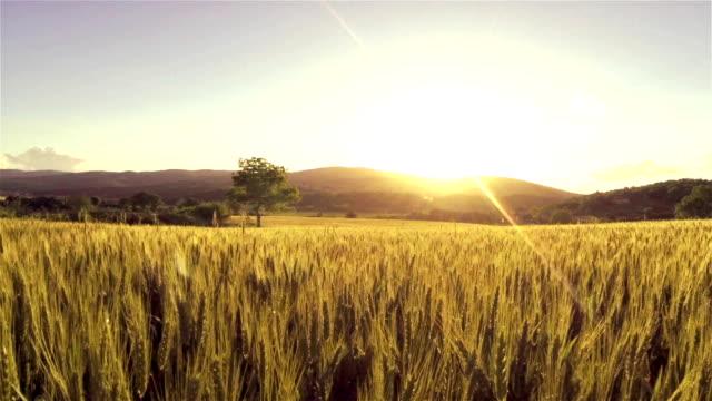 aerial: wheat field at sunset - çavdar stok videoları ve detay görüntü çekimi