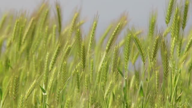 Wheat field background video