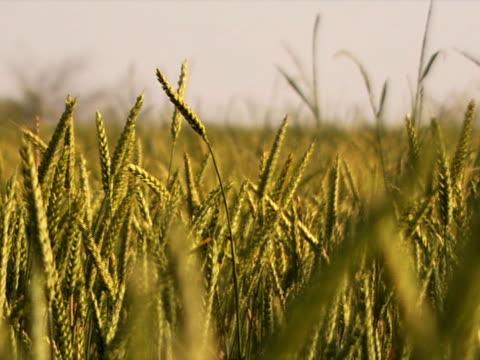 Wheat Field Breeze video