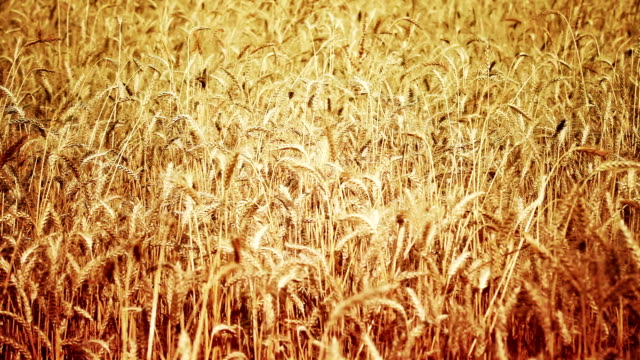 wheat field elevated view video