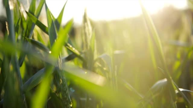 buğday alan zevk güneş - çavdar stok videoları ve detay görüntü çekimi