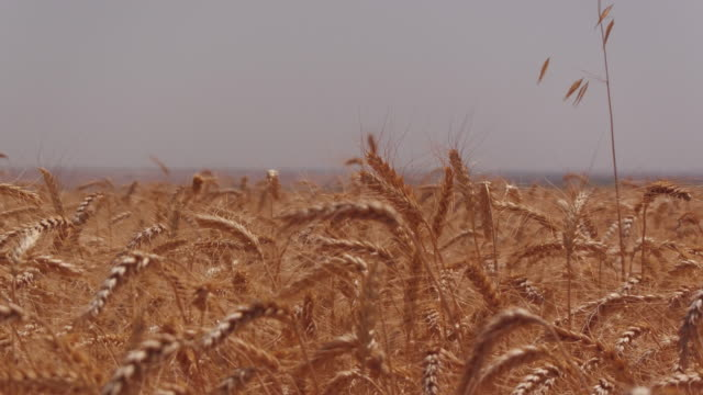 A wheat field, fresh crop of wheat. video