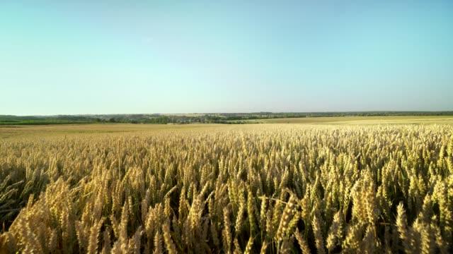 buğday tarlası. tarlada buğdayın altın kulakları. çayır buğday tarlasının olgunlaşma kulaklarıarka. zengin hasat. doğal ürün tarımı. - çavdar stok videoları ve detay görüntü çekimi