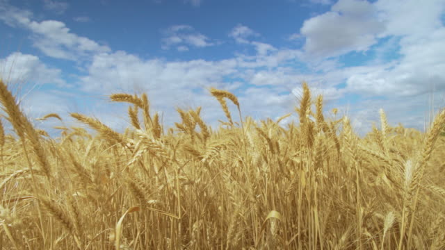 Wheat Field. Harvest concept. Field of golden wheat swaying. Nature landscape