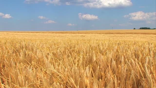 Wheat field in a strong wind