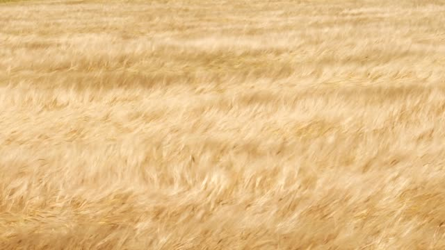北海道は風に舞う麦畑 - 大麦点の映像素材/bロール