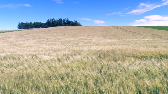 Wheat field in Hokkaido dancing in the wind