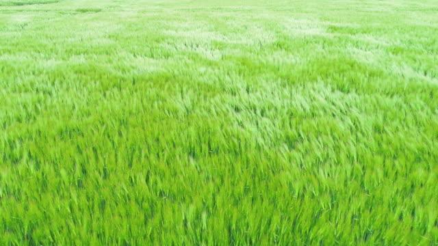 baharda buğday alanı, havadar bir gün-havadan görünüm - çavdar stok videoları ve detay görüntü çekimi