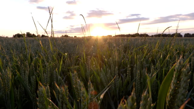 Wheat field in sunset summer time video