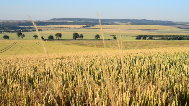 wheat field in the breeze, locked down - pianura video stock e b–roll