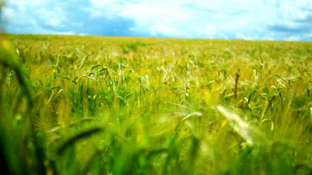 Wheat field in the wind video