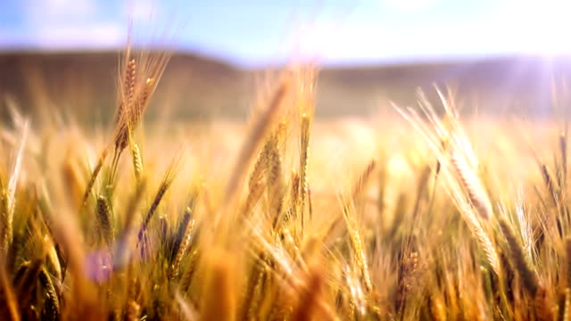 Wheat field in wind Golden crops in wind. Sun over mountains. Shallow depth of field. wheat stock videos & royalty-free footage