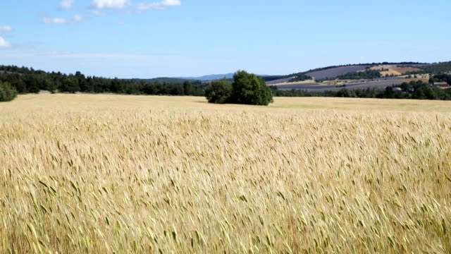 Wheat field in windy day. Wheat field in windy day. Mistral France Provance harrow agricultural equipment stock videos & royalty-free footage