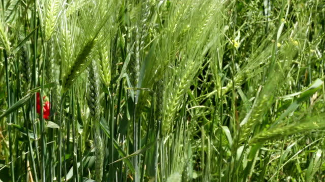 wheat field on a windy spring day - ludzka kończyna filmów i materiałów b-roll