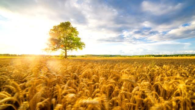 Wheat field on sunset video