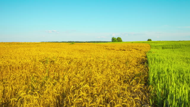 Wheat field, panoramic time-lapse video