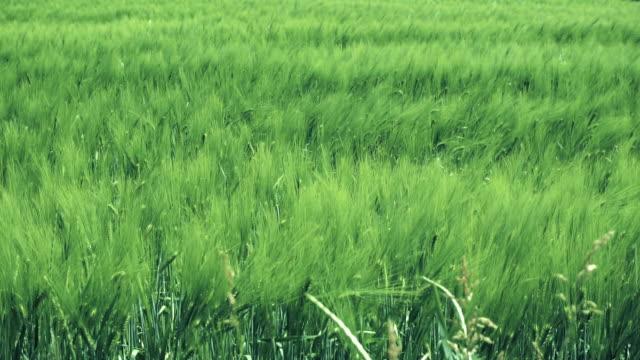vídeos de stock e filmes b-roll de wheat field swaying in the wind - oscilar