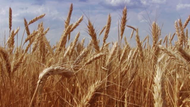 小麦のフィールド - 尖っている点の映像素材/bロール