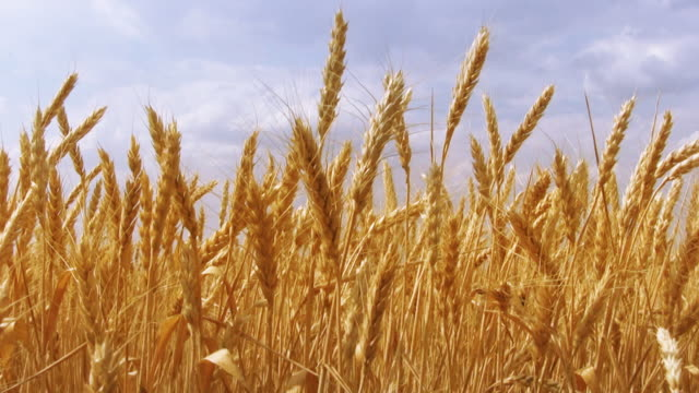 Wheat field Golden wheat on blue sky background. wheat stock videos & royalty-free footage