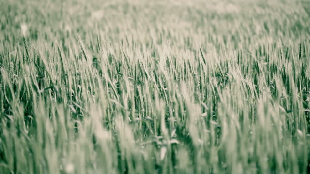 Wheat field  grass area stock videos & royalty-free footage