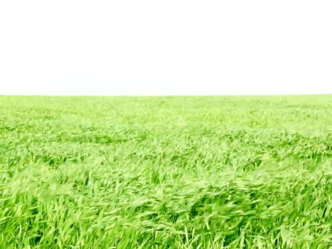 小麦のフィールド  - 熟していない点の映像素材/bロール