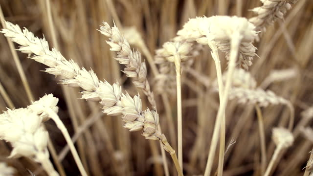 Wheat field. video