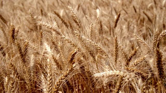 wheat campo di - full hd format video stock e b–roll