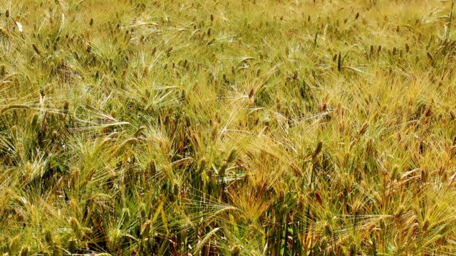 Wheat field HD 1080 static: wheat field on summer sun; plants waving on wind;  monoculture stock videos & royalty-free footage