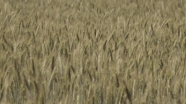 Wheat field video