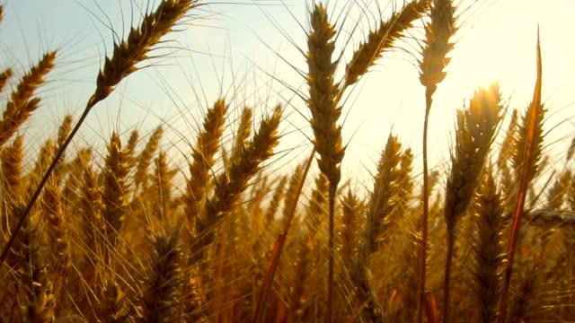 buğday alanı - çavdar stok videoları ve detay görüntü çekimi